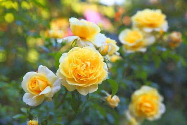 Hoa hồng vàng mang nhiều ý nghĩa