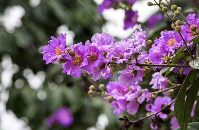 Hoa bằng lÄng tím má»ng mÆ¡