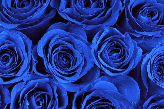 Hoa hồng màu xanh