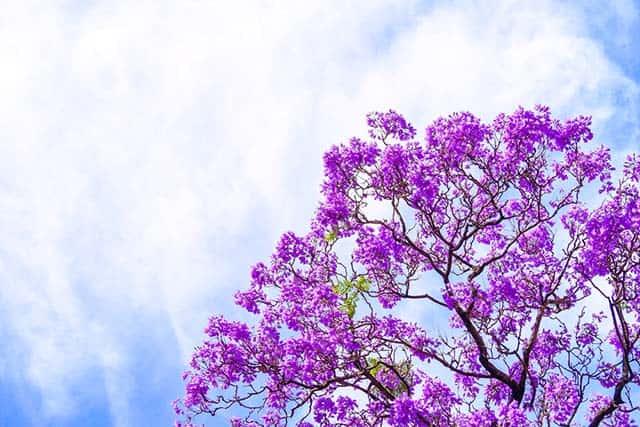 Hoa phượng tím cả má»t góc trá»i