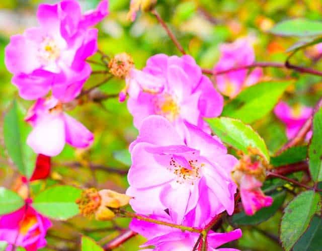 Hoa tấm xuân lung linh trong nắng
