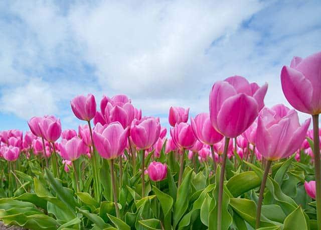 Hoa tulip trong nang