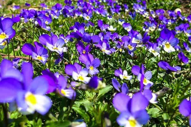 Hoa violet gây thÆ°Æ¡ng nhá»
