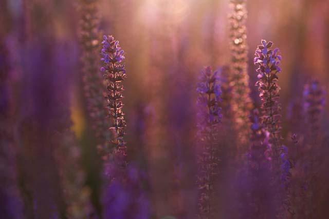 Hoà ng hôn của hoa oải hương