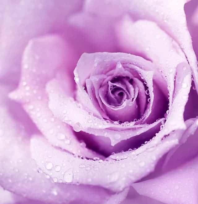 Mà u tím lãng mạn của hoa há»ng