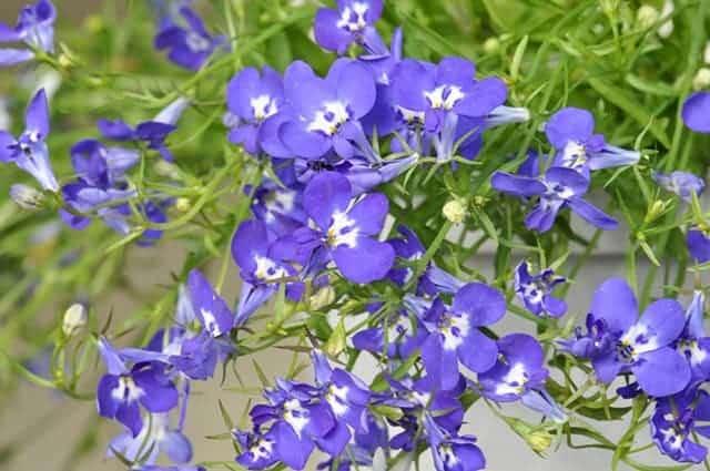 Những cánh hoa violet mong manh