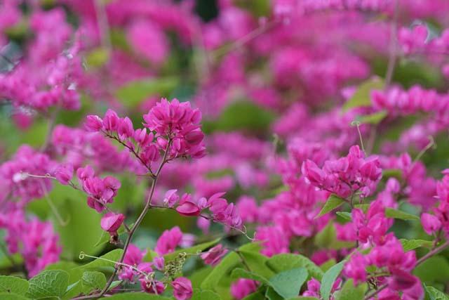 Hình ảnh hoa ti gôn