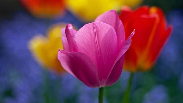 Hình ảnh những bông hoa tulip
