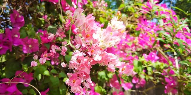 Loài hoa ti gôn nhỏ bé