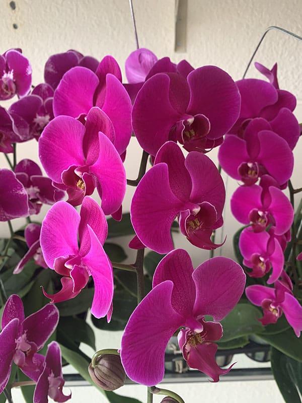 Chăm sóc hoa lan hồ điệp